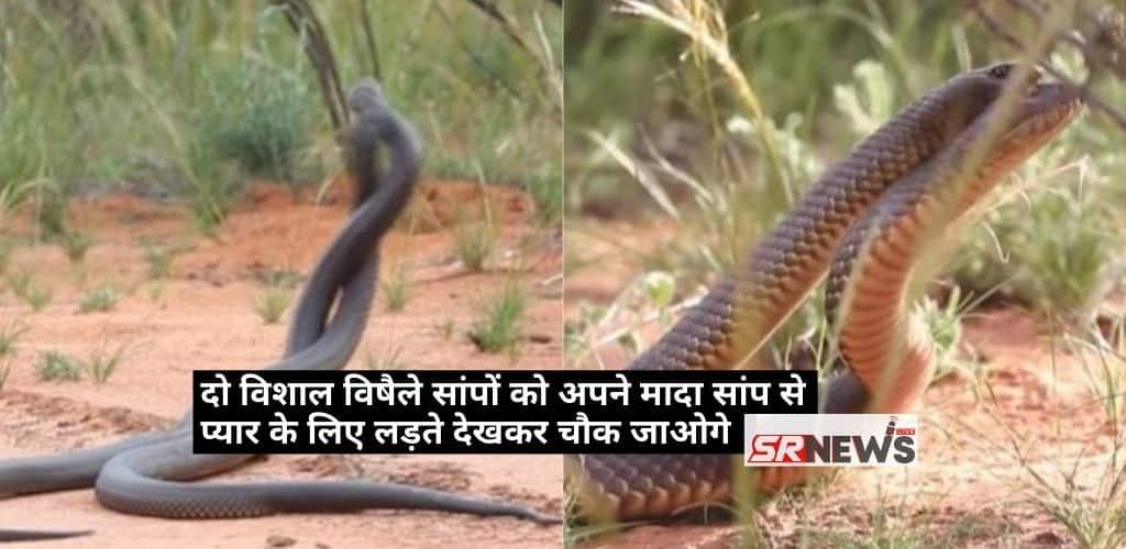 Mulga Snake Fight