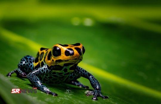 Poison Dart Frog Fact