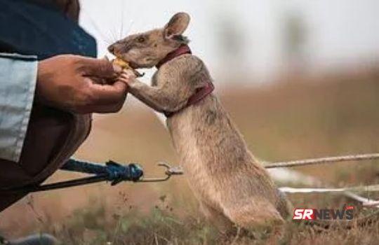 Magawa Rat Story