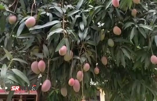 Most Expensive Mango