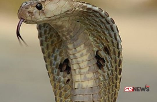 Snake Two Tongues