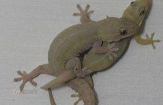 lizard making love