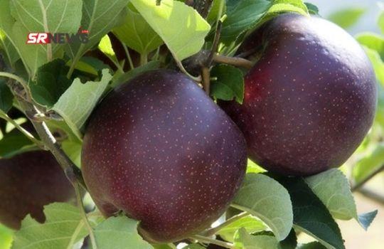 Black Diamond Apple Taste
