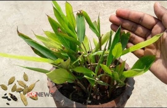 Cardamom Plant in home