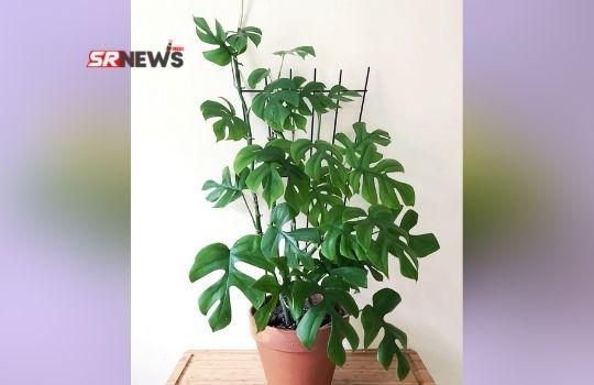 four leaves indoor plant