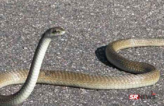unmadi snake