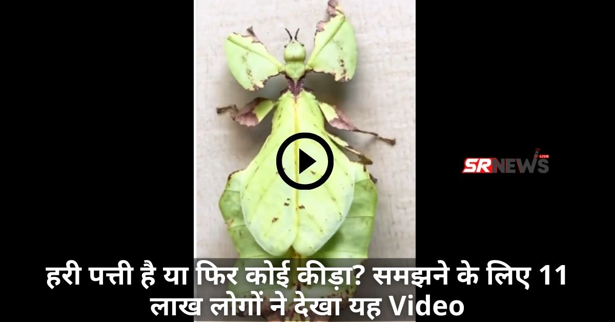 Phyllium Giganteum Viral video