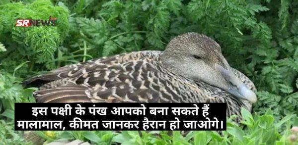 इस पक्षी के पंख आपको बना सकते हैं मालामाल, कीमत जानकर हैरान हो जाओगे।