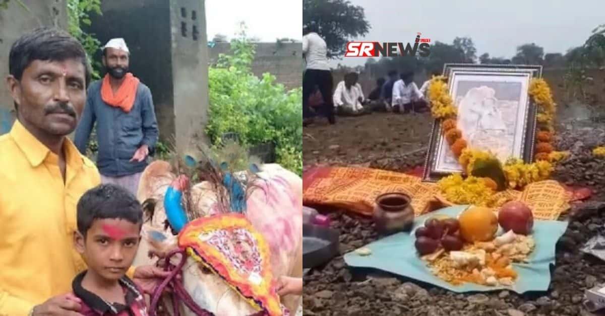 Maharashtra Ox Farmer News