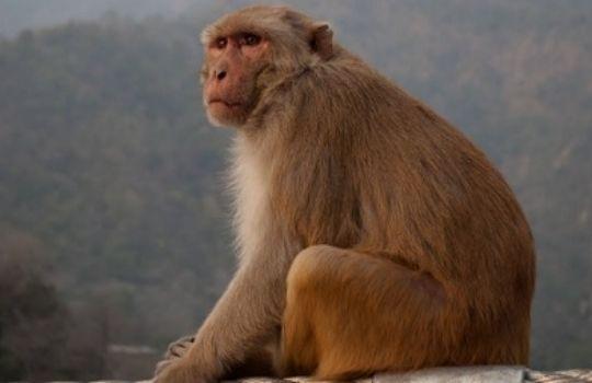 _Monkey Revenge in karnataka News
