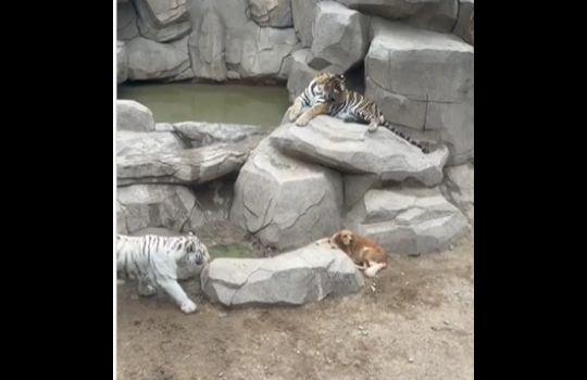 Tiger Dog Viral Video
