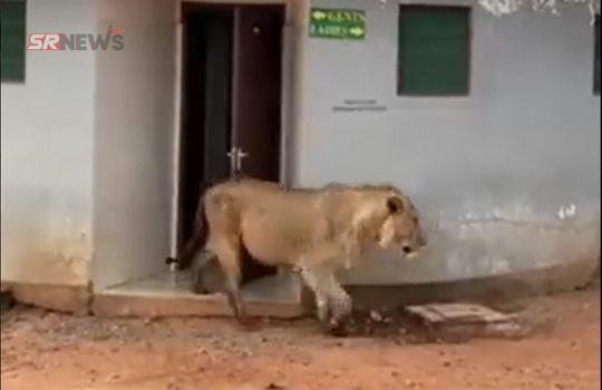 Tiger Funny Viral news