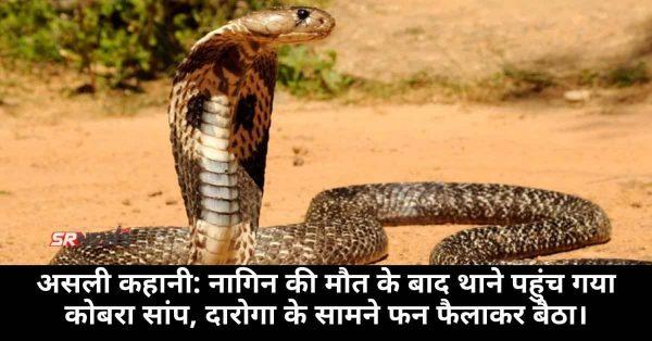 असली कहानी: नागिन की मौत के बाद थाने पहुंच गया कोबरा सांप, दारोगा के सामने फन फैलाकर बैठा।